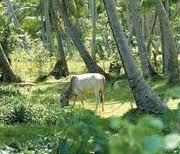 Livestock under Coconuts