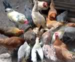 Darag Native Chicken Production Guide