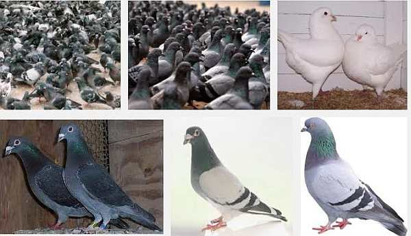 How to Raise Pigeons for Money 1