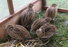 Quail Raising Tips