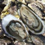 Oyster Farming and Production Business 1