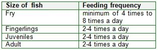 tilapia feeding schedule