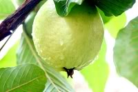 guava production guide