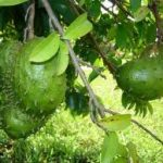 Guyabano (Soursop) Production Guide