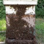 Honeybee Culture - Manual on Beekeeping