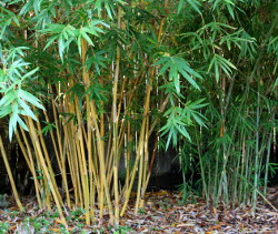 Bamboo Production Guide 1