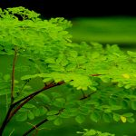 Malunggay (Moringa oleifera) Production Guide