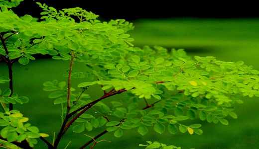 Malunggay (Moringa oleifera) Production Guide 1