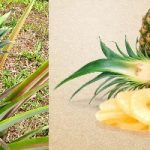 Pineapple Production Guide