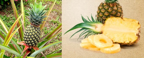 Pineapple Production Guide 2