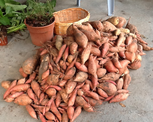Right Way of Storing Sweet Potato 1