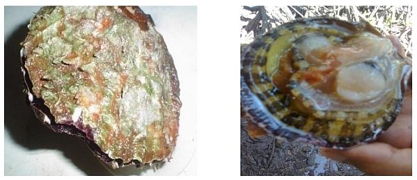 surigao oyster-tikod amo