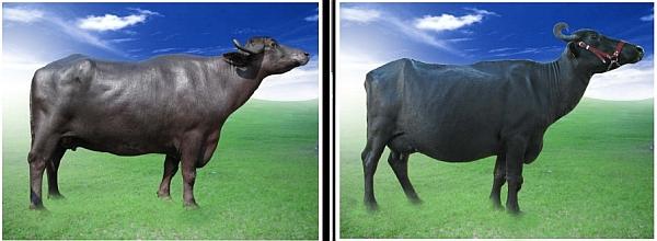 milk-producing carabao