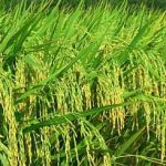Super Hybrid Rice from China to aid Phils get high yield of10 ton per hectare at a cheap P5 per kilo 1