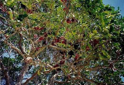 lipote tree