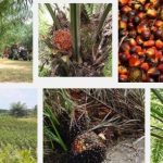 Oil Palm Farming 5