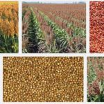 Sweet sorghum feeds eyed as cheap alternative to corn feed, to raise farmer net income from broiler