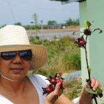 FDA registration to stir up market for healthy products from indigenous plant Roselle sought by US, Europe markets