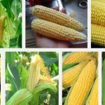 Sweet Corn Production  Guide