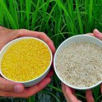 Philippine government pressed to put policies to bring GM crops like Vitamin A-rich rice to help solve worsening global hunger, malnutrition