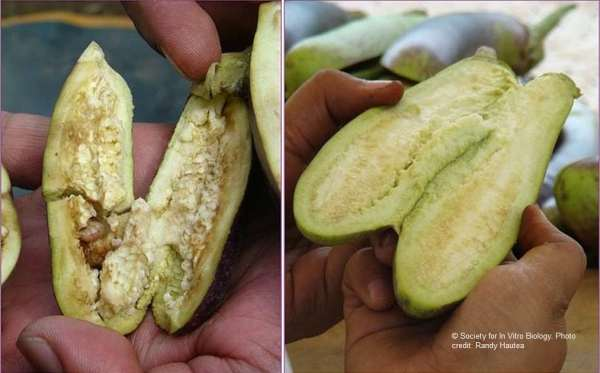 Filipino farmers anticipate approval Bt eggplant similar to Bangdesh's release of Bt brinjal 1