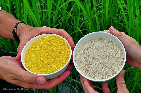 golden rice philippines
