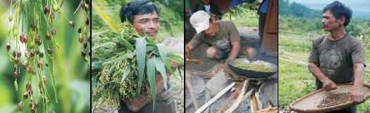Adlai: Champion crop of the Subanen Tribe  1
