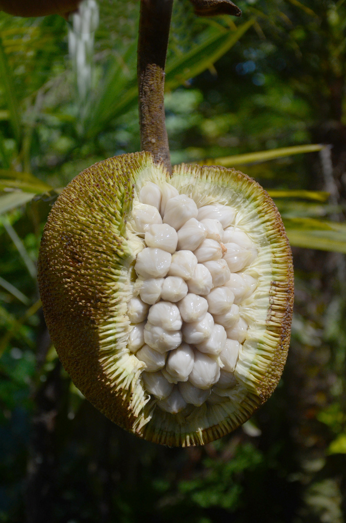 Value-Added Products from Marang (Artocarpus odoratissima) 10