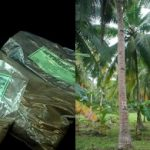 Mykovam: Effective growth enhancer for coconut