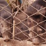 Native swine production technologies take off