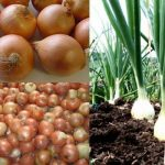 BAR intensifies support to yellow onion, soon to export in Japan