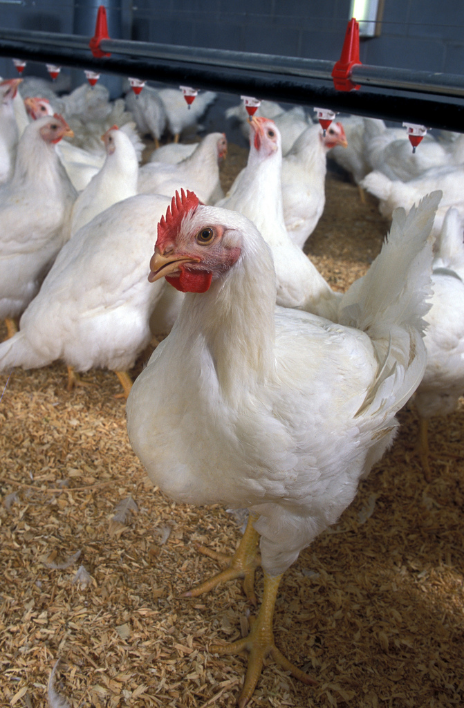 Chicken Raising business – How to Start a Poultry Farm Business