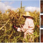 ADLAI: A never heard of crop that resembles, tastes like rice