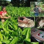 Producing white powder from arrowroot through improved production technologies