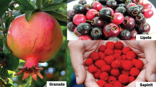 Promoting the less-known, phytochemical-rich Pinoy fruits 1