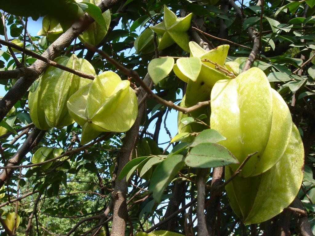 The 'starfruit' for all seasons 1