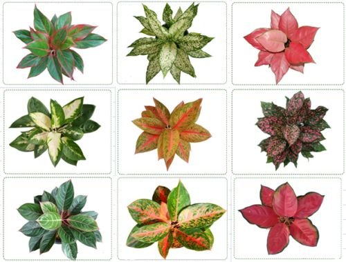 Brighten your homes with aglaonema 1