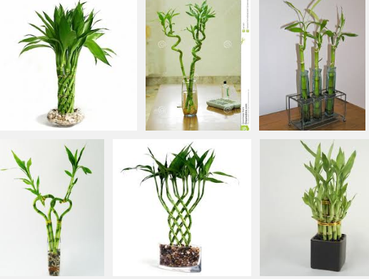 Cashing in with the 'lucky bamboo' 11