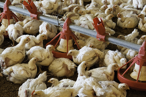 chicken broiler farms photo