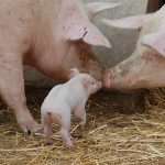 Application of gene markers to improve swine productivity
