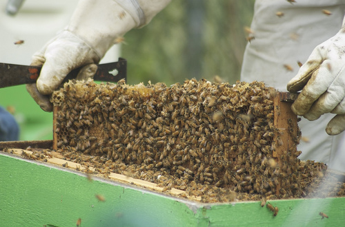 beekeeping photo
