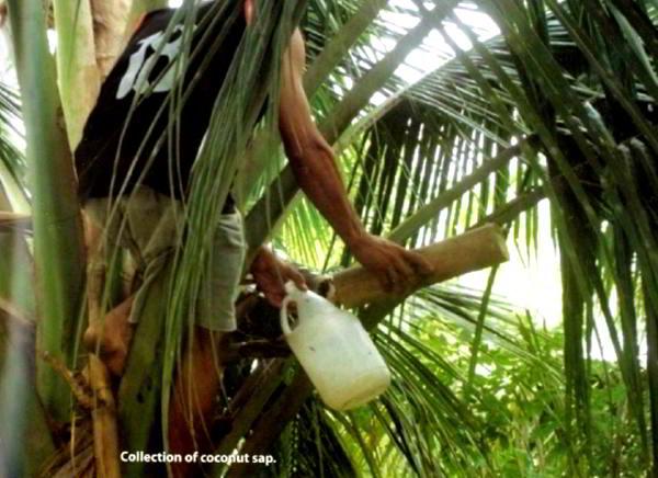 Coconut Sap Sugar Production 1