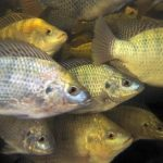 Tilapia Feeding Strategies for More Income
