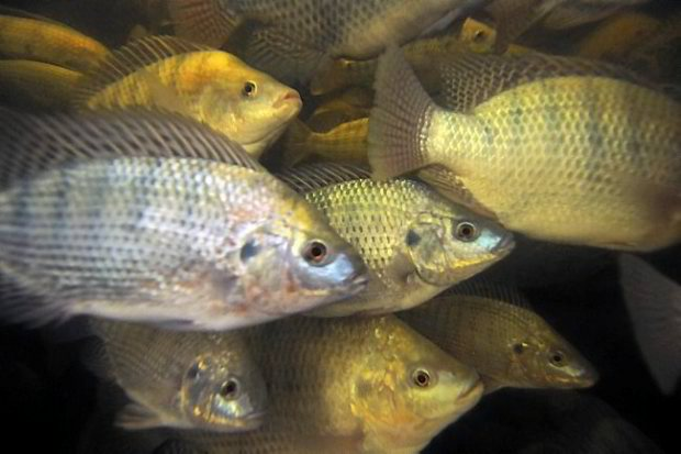 Tilapia Feeding Strategies for More Income 1