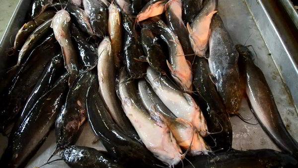 Getting into catfish farming 1