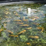 How to Raise Tilapia in the Backyard 2