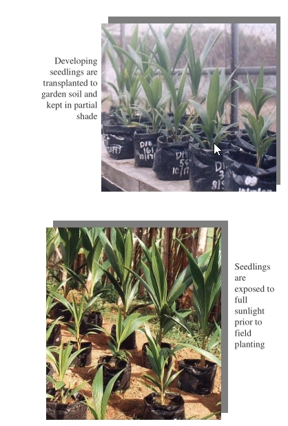 Coconut Embryo Culture for the Propagation of Macapuno Seedlings 4