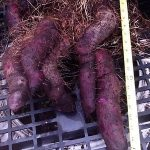 How to Grow Ubi (Yam)