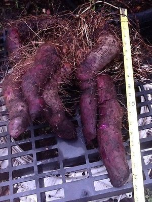 How to Grow Ubi (Yam) 1