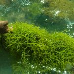 Health and wellness benefits from seaweeds explored 1